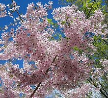 Cherry blossom by Mike Warman
