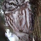Boreal Owl by Gary Fairhead