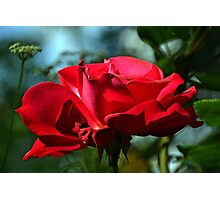 Red Rose ...... Photographic Print