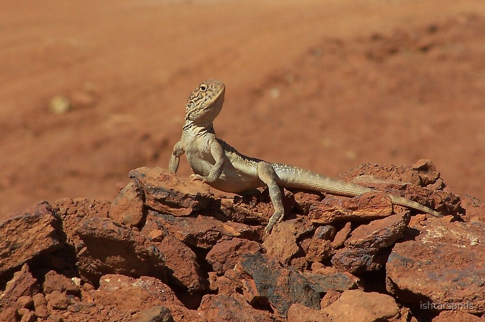 Central Netted Dragon, east of Kalgoorlie, WA by ishtarsands