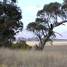 Canberra Countryside Drought by Virginia McGowan
