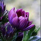 Purple Pink by Melody Shanahan-Kluth