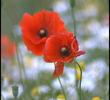 Poppies and Daisies by Melody Shanahan-Kluth