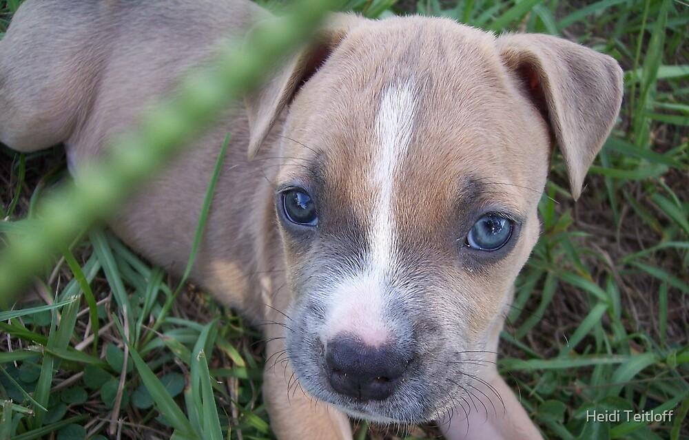 Pit Bulldog Puppy1 by Heidi Teitloff