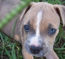 Pit Bulldog Puppy1 by Heidi Teitloff