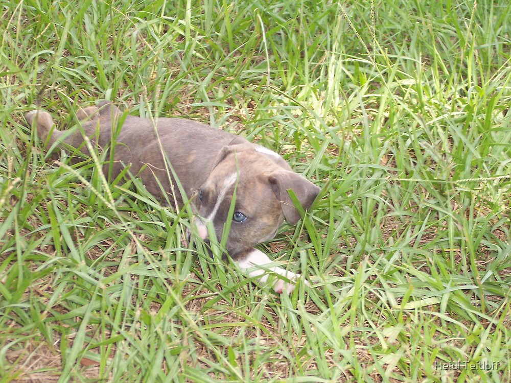 Pit Bulldog Puppy3 by Heidi Teitloff