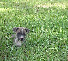 Pit Bulldog Puppy4 by Heidi Teitloff
