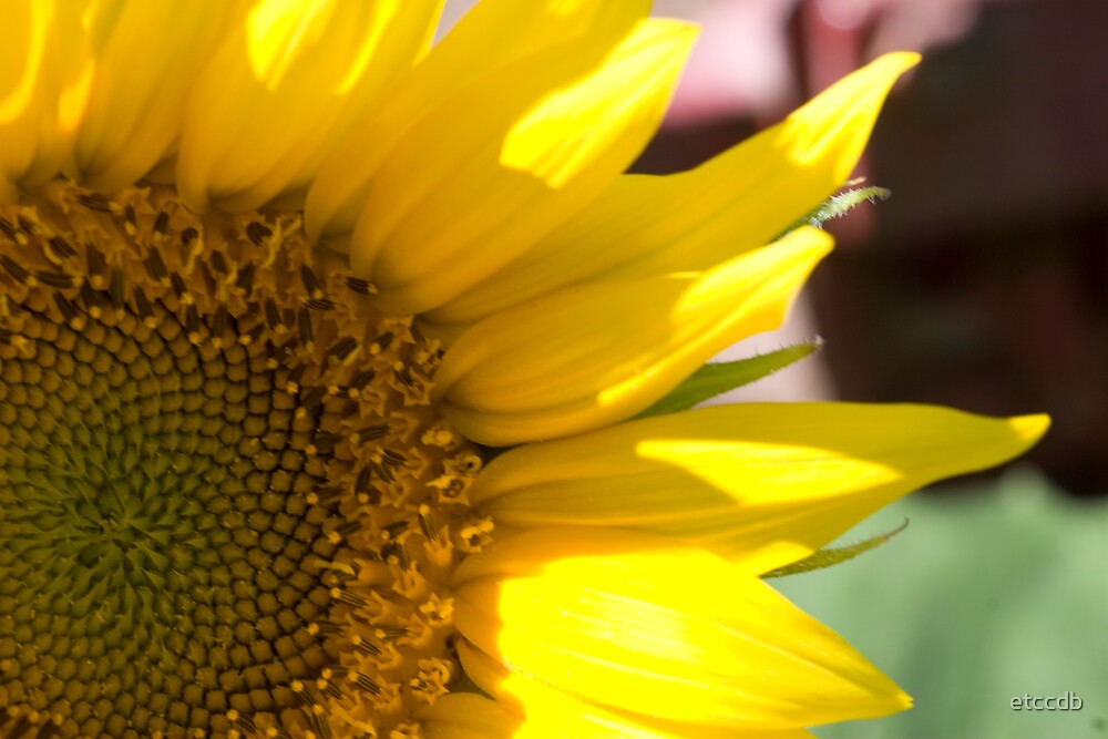 sunflower by etccdb