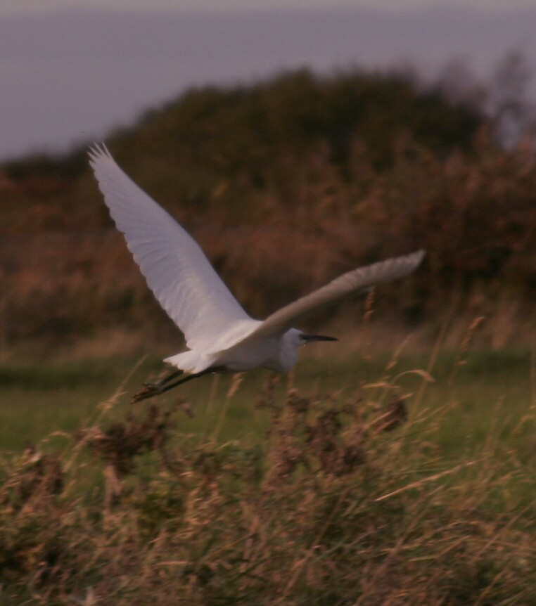 heron in flight by annie1