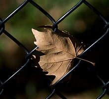 leaf/fence by etccdb