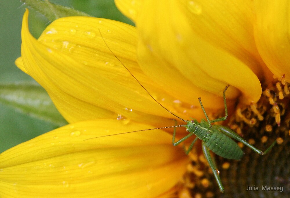 Cricket on sunflower by Julia  Massey