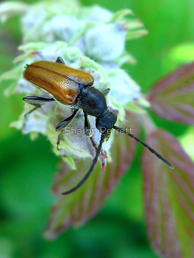 Beetle by Sharon Perrett
