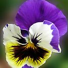 Cheerful Pansy by BlueMoonRose