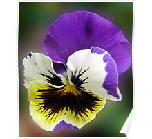 Cheerful Pansy Poster