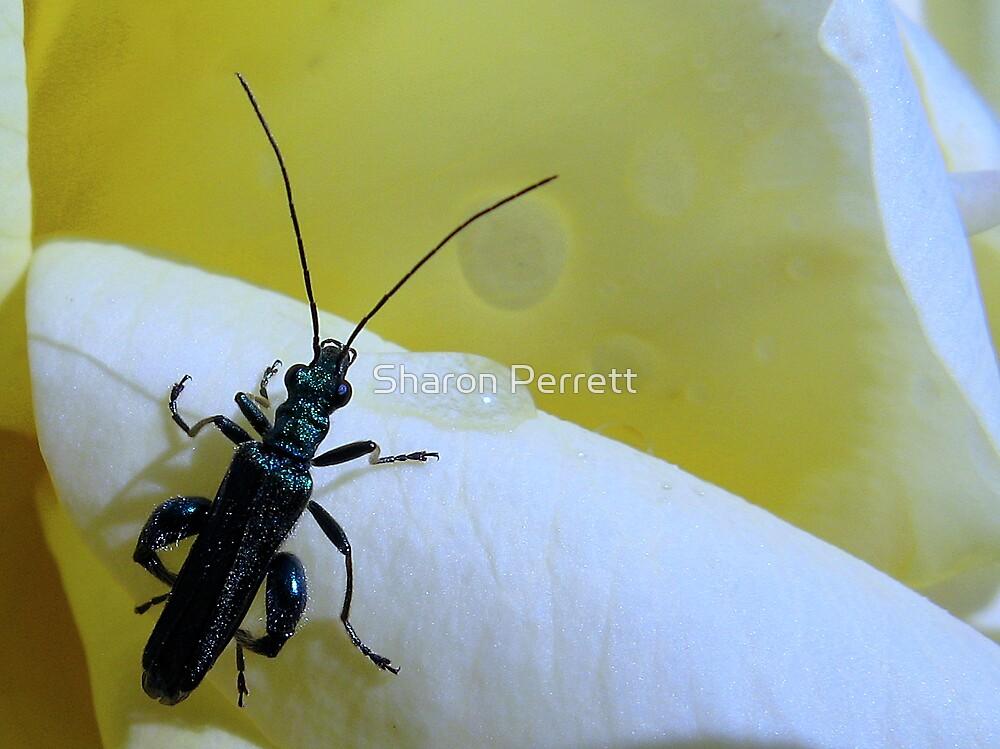 Flower Beetle - Male by Sharon Perrett