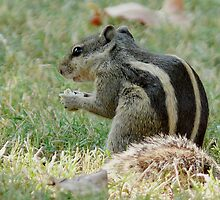 Squirrel 1 by Dr. Sandeep Jain