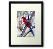 oz birds - crimson rosella Framed Print