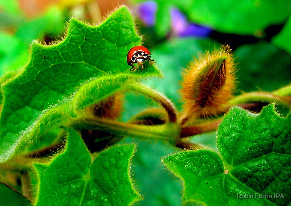 LadyBug by Robin Fortin IPA