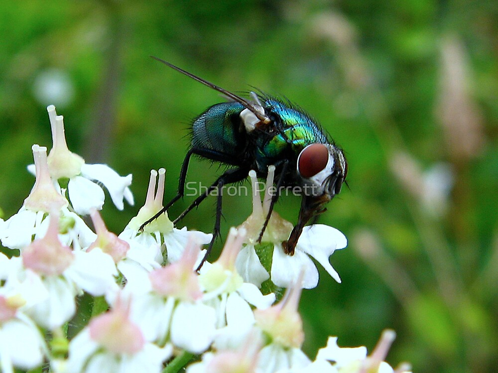 The Fly by Sharon Perrett