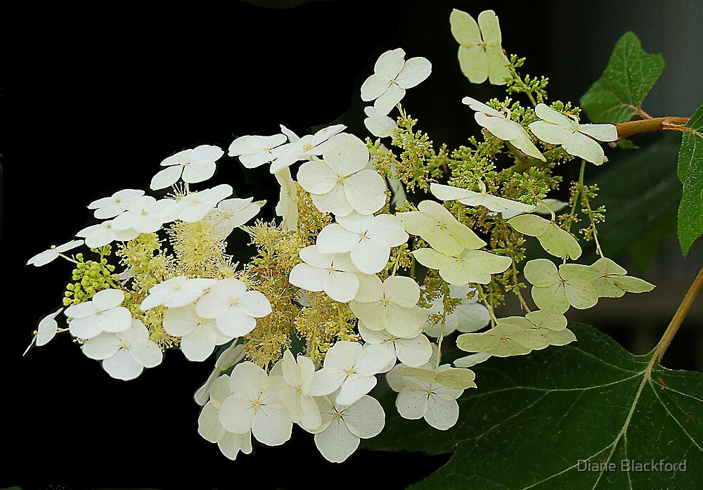 White Blossoms by Diane Blackford