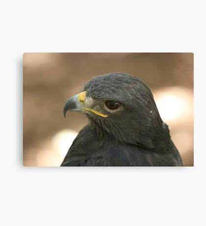 Harris Falcon Canvas Print
