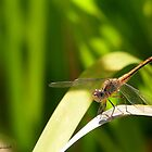 Happy Dragonfly 01 by kevin chippindall
