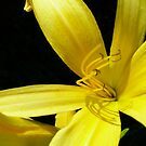 Golden Lily by elisab