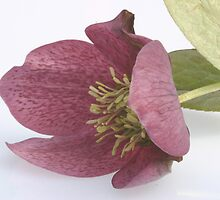 Helleborus 1 by englishbayboys