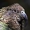 NZ Kea by Robyn Carter