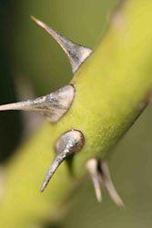 Thorns by katiewallin