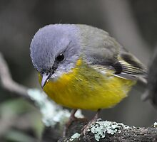Eastern Yellow Robin - Focused by TootgarookSwamp