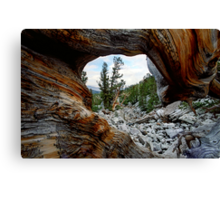 Bristle Cone Pine Wave Canvas Print