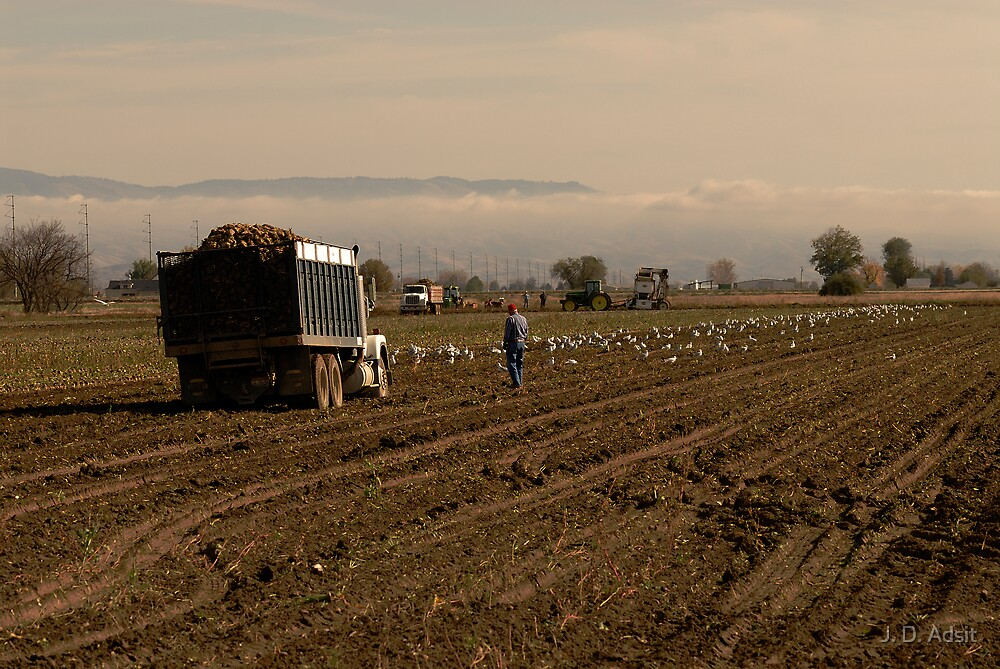Gulls & Potatoes - Harvest End by J. D. Adsit