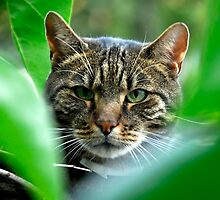 prowling tiger by Dan Shalloe