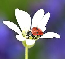 Ladybird on White Flower by DollyDoLittle