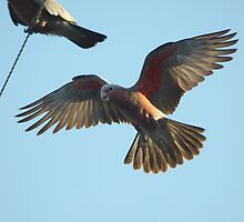 Galah (2) by Wildpix