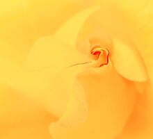 Yellow Rose! by Mohsen Bayramnejad