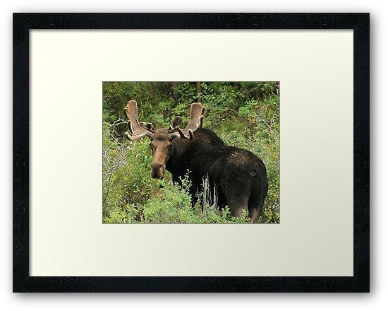 East Canyon Moose by Gene Praag