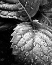 Hydrangea raindrops III by Duncan Waldron