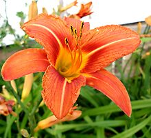 Tiger Lily by sherryconley