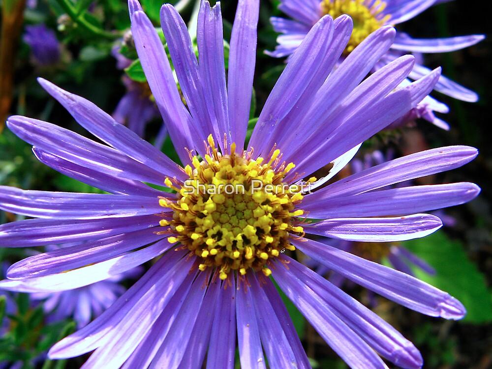 Daisy....................daisy by Sharon Perrett