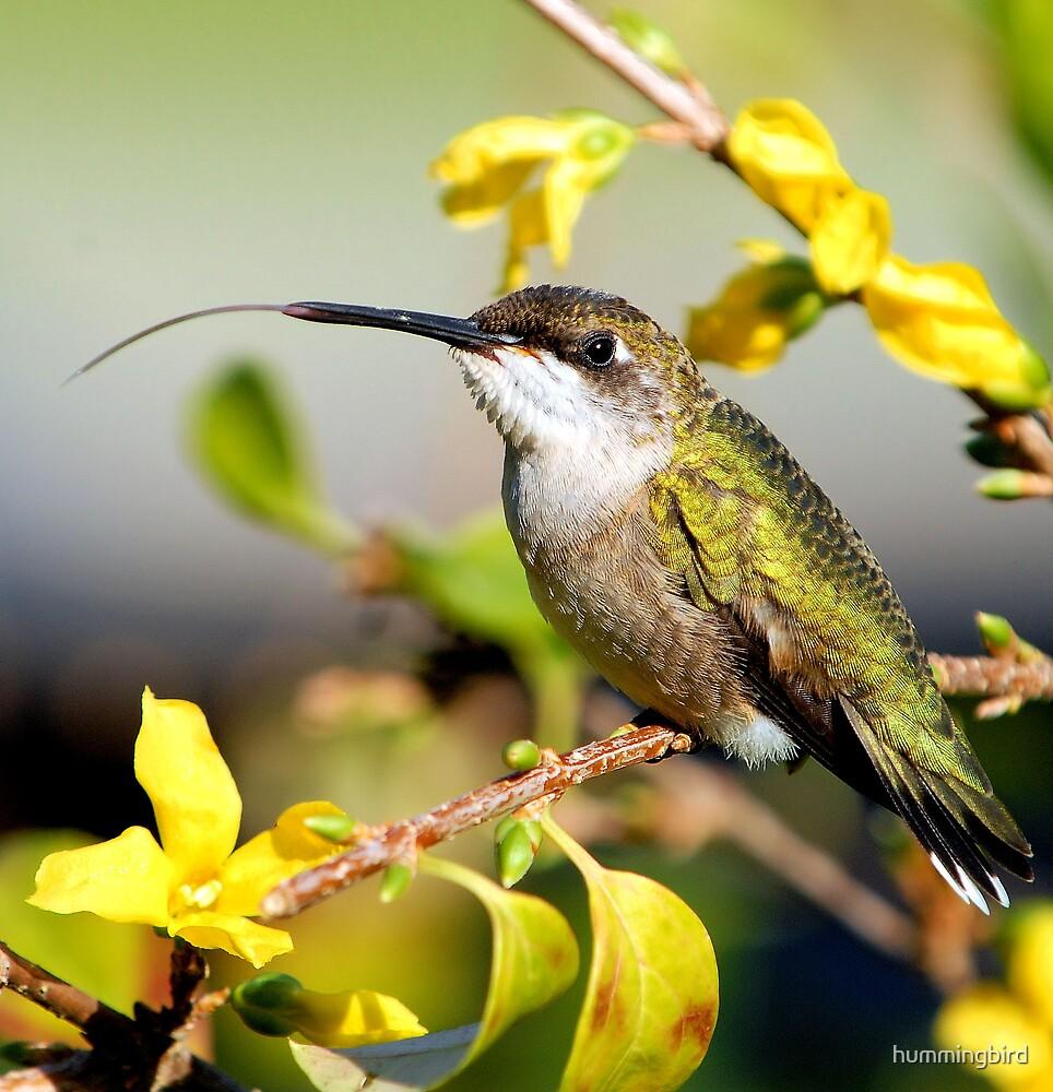 Hummer Happenings by hummingbird