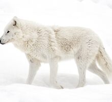 Winter Wolf - Walking Winter Wonderland by Poete100