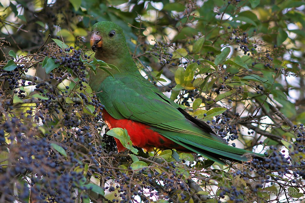 King Parrot by craignoble