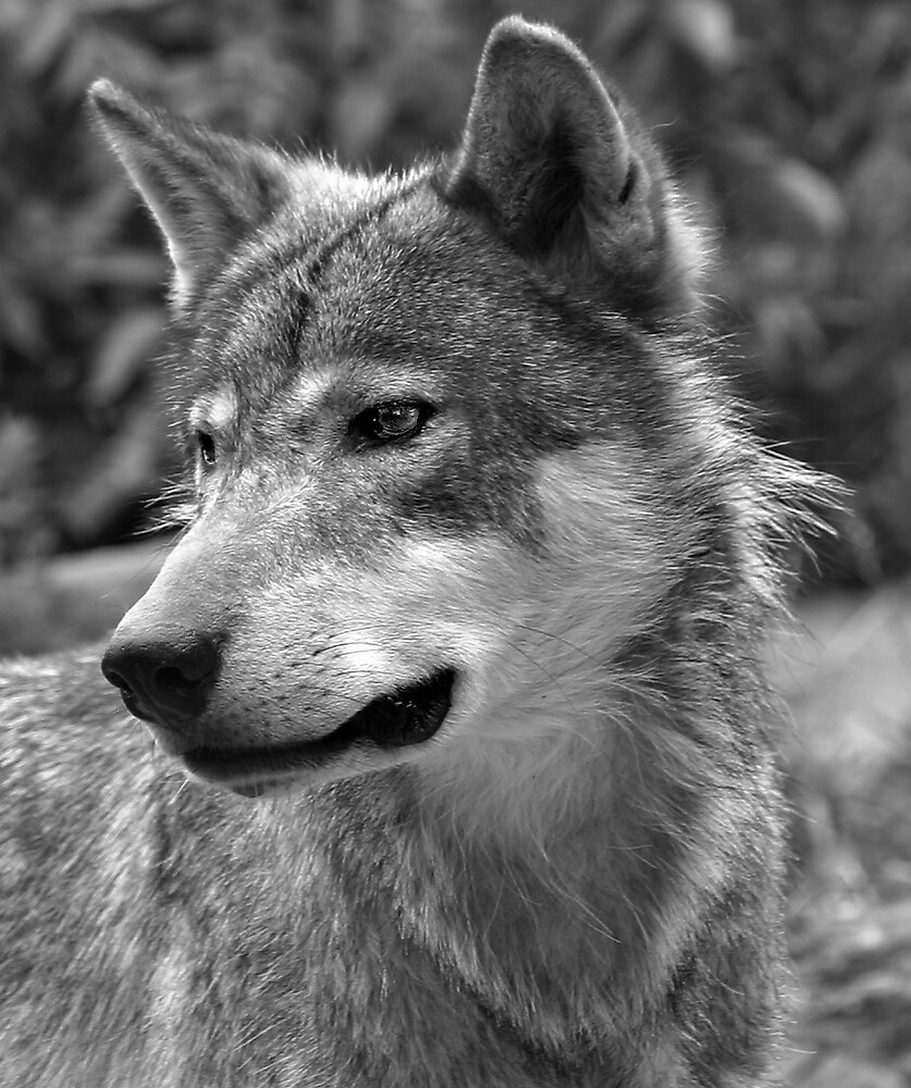 Portrait of Young Wolf by kitlew