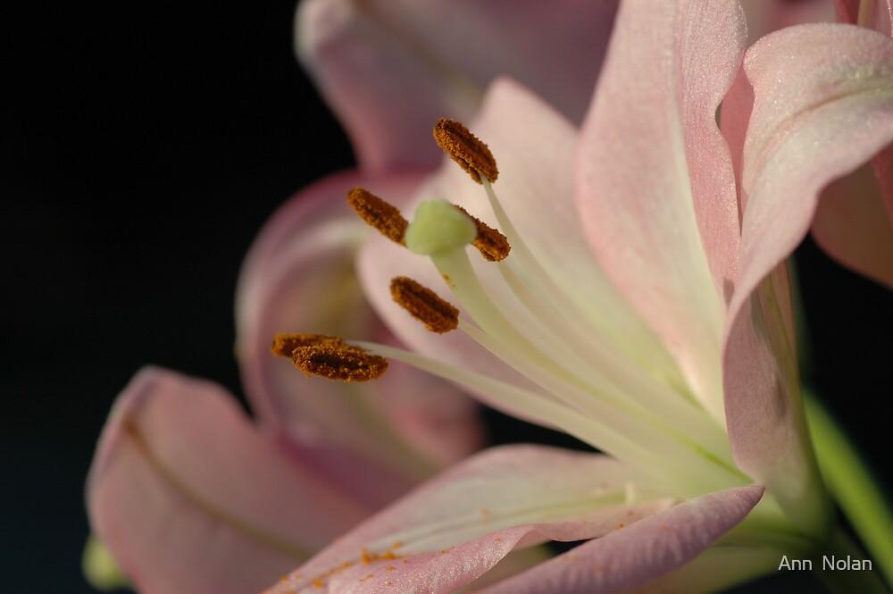 Lily by Ann  Nolan
