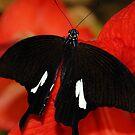 Wings by mik013
