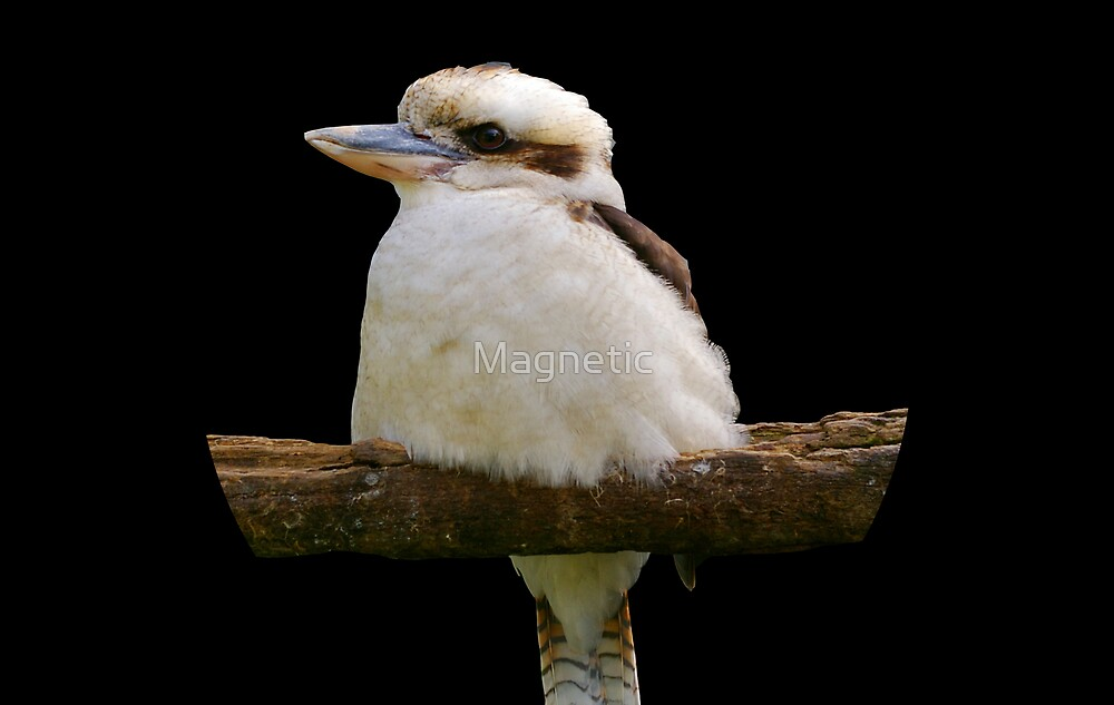 Kookaburra by Magnetic
