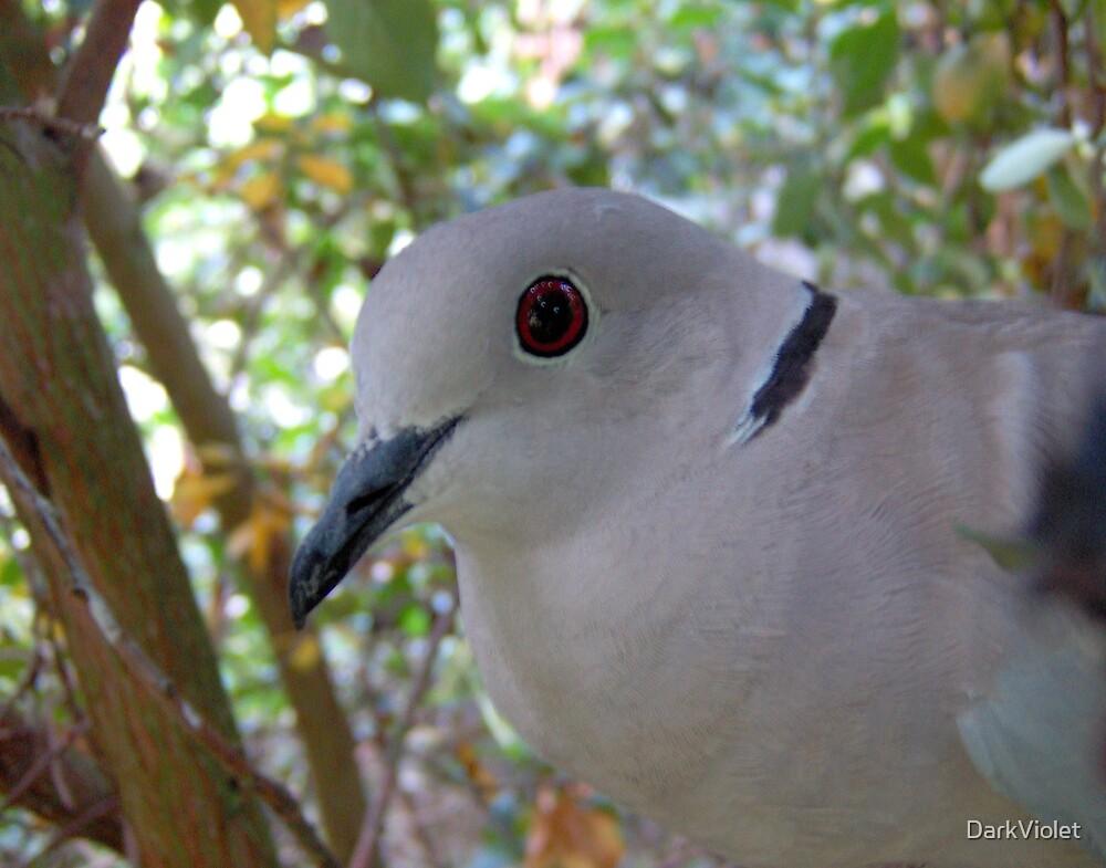 Pretty collared dove by DarkViolet