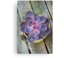 Purple Echeveria Canvas Print